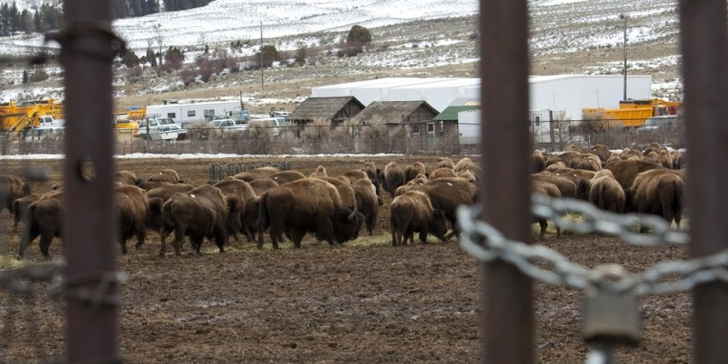 Image: Bison inside pen