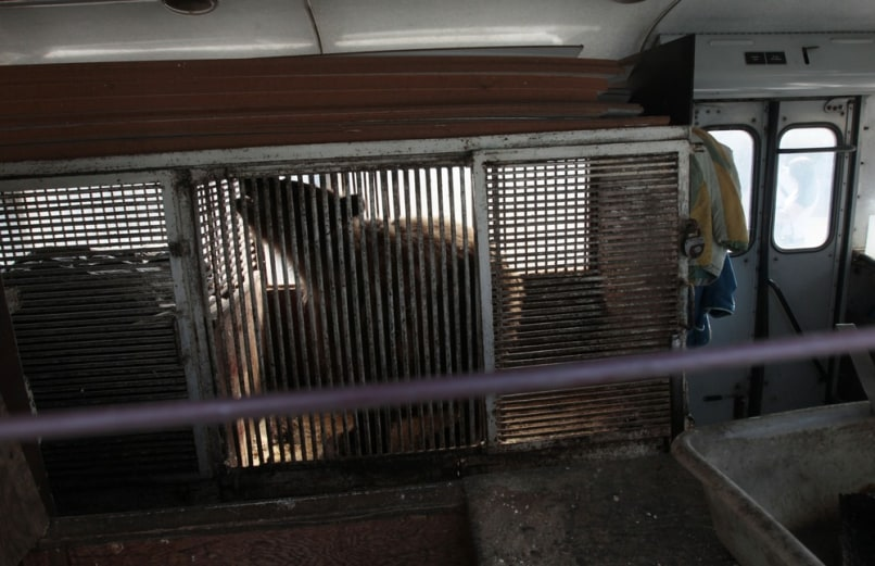 Image: Katya, a 36-year-old bear, moves uneasily in her cage placed inside a bus