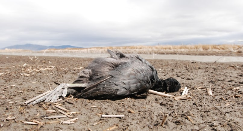 Image: Dead coot