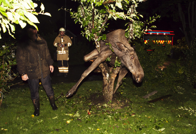 A drunken moose is seen stuck in an apple tree in Gothenburg, Sweden