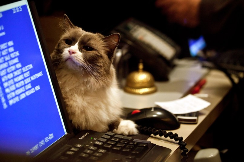 Image: Matilda the cat sits leashed behind the front desk at the Algonquin Hotel in New York.