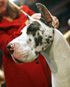 Image: Great Dane