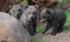 Image: Young bears at Wildlife park Tripsdrill