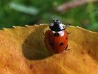 Image: Ladybug in Autumn