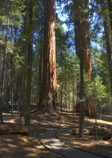 Image: giant Sequoias