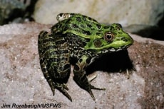Image: Chiricahua leopard frogs