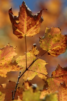 Image: Maple leaves