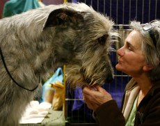 Image: Irish wolfhound