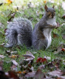 Image: Gray squirrel