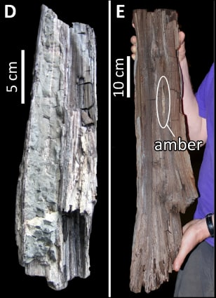 Image: Side by side images of redwood specimens