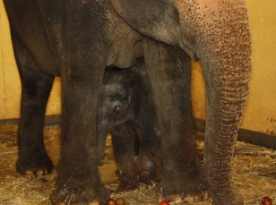 Image: Elephant calf