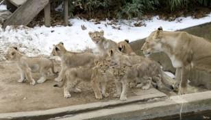Image: Lion cubs