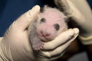 Image: Panda cub