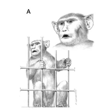 Image: An illustration of a rhesus macaque drumming with cage doors.