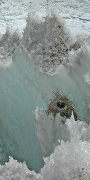 Image: Nest of a Diuca Finch on the Quelccaya Ice Cap of Peru.