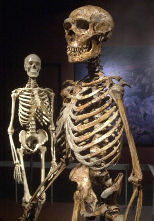 Image: A reconstructed Neanderthal skeleton, right, and a modern human version of a skeleton