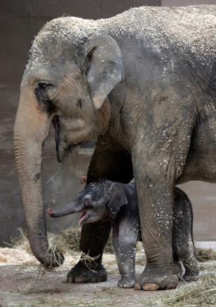 Image: Ohio zoo's baby elephant