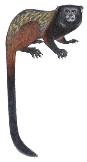 Image: Mura's saddleback tamarin