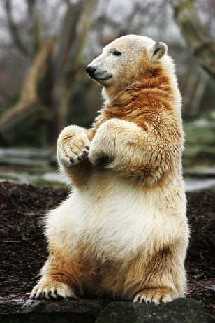 Image: Knut the polar bear celebrates his first birthday at Berlin's Zoologischer Garten zoo