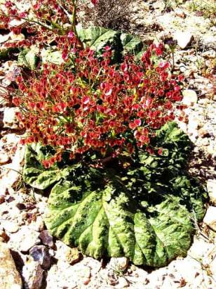 Image: Self-watering rhubarb