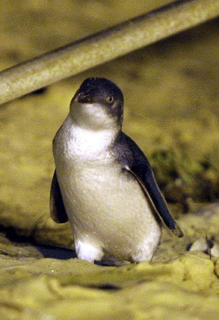 Image: A fairy penguin on a beach in Sydney