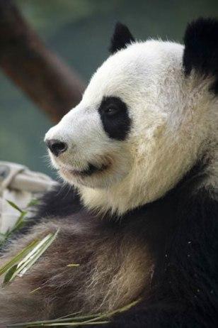 Image: Lun Lun, a female panda