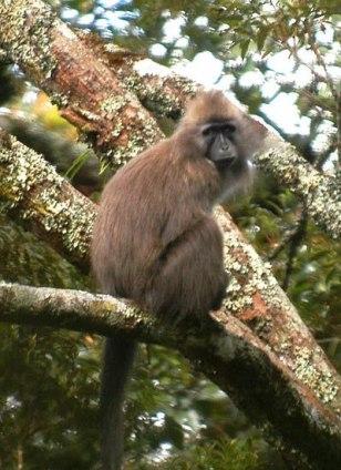 Image: Kipunji monkey