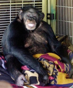 Image: Chimpanzee