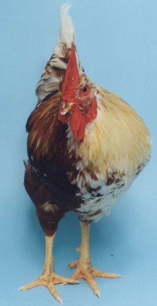Image: Half-male chicken