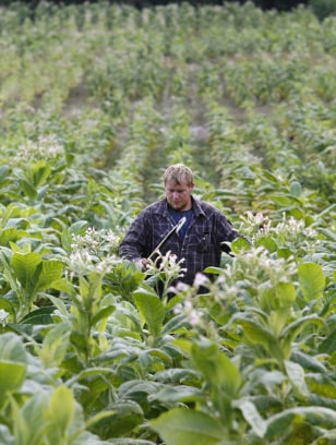 Image: Clinton Yates in tobacco field