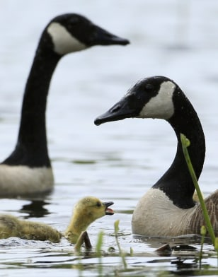 Image: Canada geese
