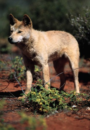 Image: Wild dingo in Australia