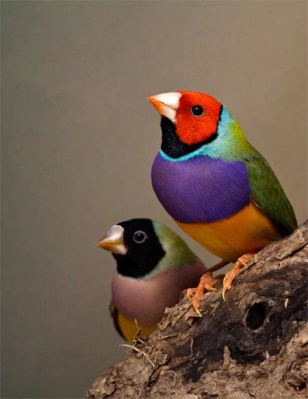 Image: Male and female Gouldian finches