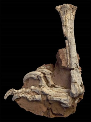 Image: Fossilized hind limb of Balaur bondoc