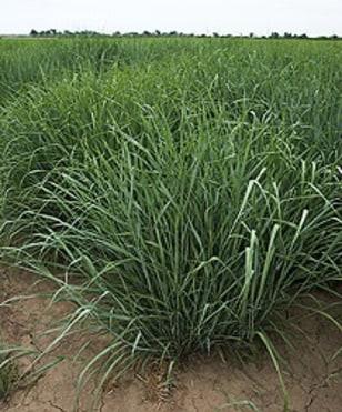 Image: Energy crops