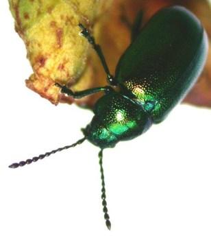 Image: Leaf beetle