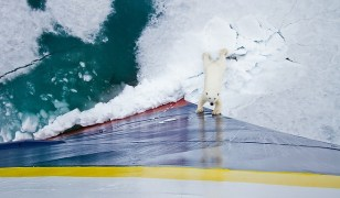 Image: A polar bear looks up at guests aboard Lindblad Expeditions' National Geographic Explorer in Norway