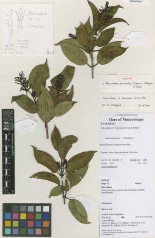 Image: New species of tropical mistletoe