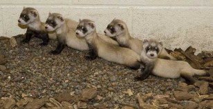 Image: Black-footed ferrets