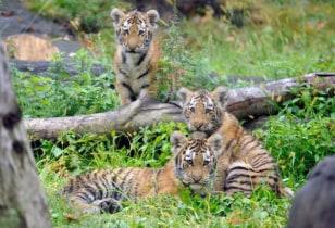 Image: Amur tiger cubs