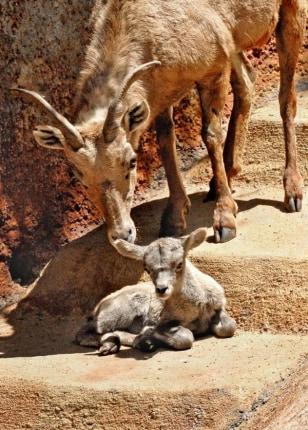 Image: Desert bighorn sheep