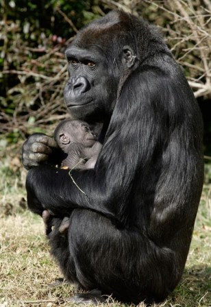 Image: Western lowland gorilla mom and baby