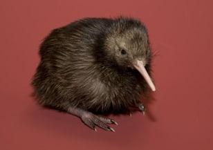 Image: Kiwi chick