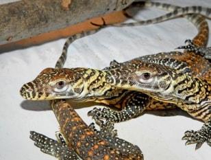 Image: Komodo dragon hatchlings