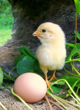Image: Chicken and egg