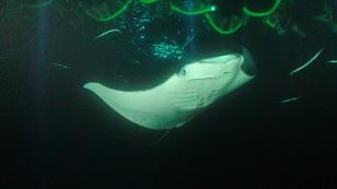 Image: manta ray