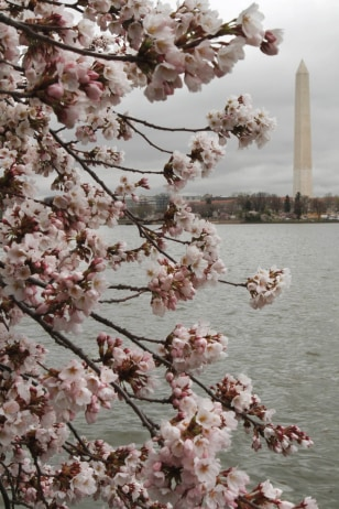 Image: Cherry blossoms in Washington, D.C.