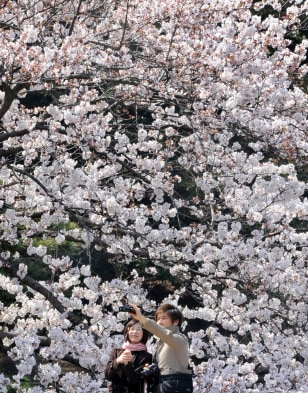 Image: Cherry blossoms in 2010