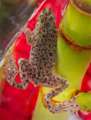 Image: African dwarf water frog