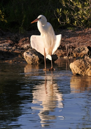 Image: An Ibis stands at the edge of the water